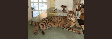 savannah cat rescue