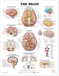 Brain Chart The Brain Anatomical Chart Books Amazon Com Industrial