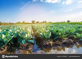 Natural Watering Agricultural Crops Irrigation Cabbage Plantations