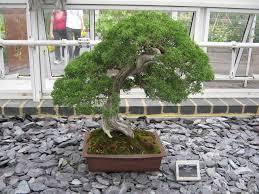bonsai gardens. juniper bonsai gardens s