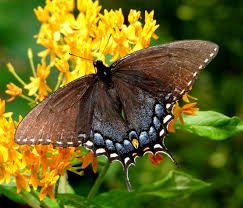 most beautiful butterflies in the world animated. Exellent Butterflies Spicebush Throughout Most Beautiful Butterflies In The World Animated E