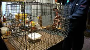 Bird Cage Trap Design Indian Myna Bird Trap Close Up Youtube
