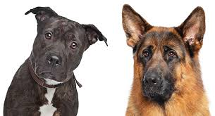 German Shepherd Pitbull Mix A Complete Guide To This