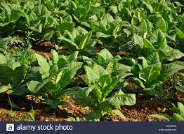 search results for collard chard green rows growing vegetable vegetables veggies amish pennsylvania stock photos and images