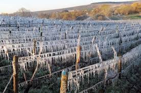 French wine regions face nervous wait on frost - Decanter