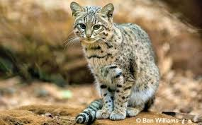 Update To The Conservation Status Of Wild Cats