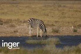 lioness hunting zebra. Plain Zebra And Then I Saw Her U201cLionu201d Said To My Parents U201cThereu0027s A Lion In The  Grass Just Near Usu201d At First They Struggled See What Was Looking At Throughout Lioness Hunting Zebra