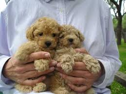 home raised male and female poodle puppies ready t