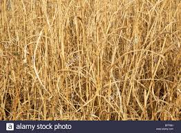 Natural texture dry tall grass New Mexico Stock Photo 26766853 Alamy
