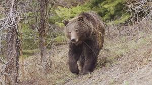 Alaskan teen grizzly bear bike attack