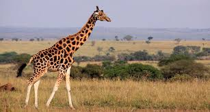 Image of: Elephant Giraffe Science News How The Giraffe Got Its Long Neck Science News