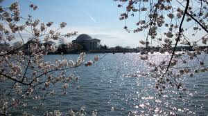 photo essay washington dc cherry blossoms a tribute to  photo essay washington dc cherry blossoms a tribute to special