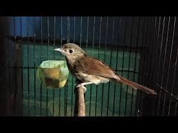 Sekarang anda juga dapat mengunduh video suara burung flamboyan betina gacor mp4. Burung Flamboyan Jantan Cara Memancing Burung Flamboyan Yang Malaes Bunyi Agar Racin Gacor Dan Ngplong Youtube Elma Daily Blogs