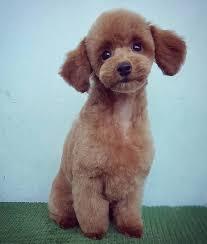 brown poodle teddy bear cut poodle puppy cut