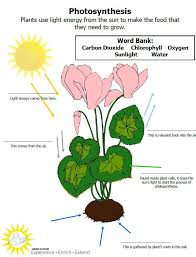 Best 25+ Photosynthesis activities ideas on Pinterest | Plant ...