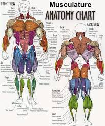 Body Fitness Chart Body Building Anatomy Chart From Gym Posters Muscle