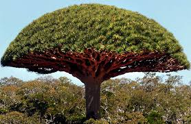 Image result for dragons blood tree