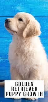 English Golden Retriever Weight Chart Golden Retriever Puppy Growth And Development