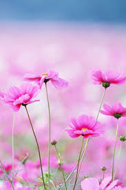 flower wallpapers for iphone 6. Interesting Wallpapers Pink Cute Little Flowers For IPhone 6 6 55S5C 44S 3Gu003c Throughout Flower Wallpapers For Iphone 6 N