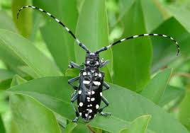 Lets Talk About Parks Be The Hero In The Asian Longhorned Beetles