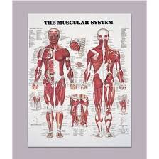 Anatomy Chart Muscular System Anatomical Chart Of The Muscular System