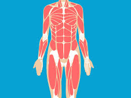 Blank head and neck muscles diagram muscular system diagram worksheet label muscles worksheet skull bones unlabeled anatomy and physiology muscle worksheets. Muscular System Anatomy Diagram Function Healthline