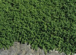 Plants Crawling Plant Design Keeping Climbing Plants Indoors Wall Climbing Plants Crossword