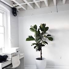 cool office plants. everything you need to know about the fiddle leaf fig cool indoor plantsoffice office plants o
