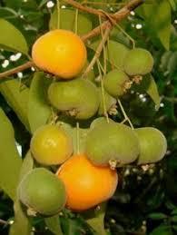 Small Orange Fruit Plant  Public Domain PicturesSmall Orange Fruit On Tree