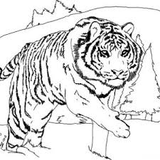 Small Picture A Loud Roaring of Bengal Tiger Coloring Page A Loud Roaring of
