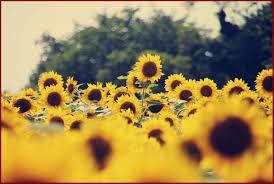 Sunflower Aesthetic Wallpaper ...