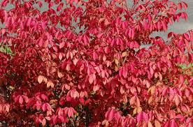 Burning Bush Plant Care And Growing Guide