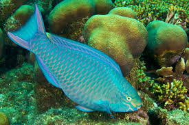 to save coral reefs start parrotfish national geographic queen parrotfish eating algae off a relatively healthy reef photo stanley bysshe