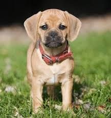 a puggle is considered a recent crossbreed sometimes known as a designer dog that is a mix of a pug and a beagle he or she may be an original mix or