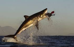 great white shark jumping. Brilliant Great Great White Shark  National Geographic In Jumping T