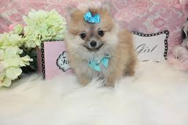 pomeranian puppies for in florida at yorkiees