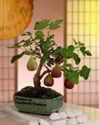 Persian Lime  WikipediaIranian Fruit Trees