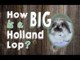 How Big Is A Holland Lop Rabbit