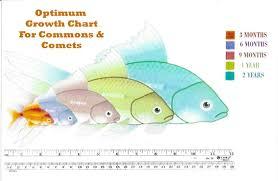 Goldfish Feeding Chart Do Not Get Carnival Goldfish Pets Amino