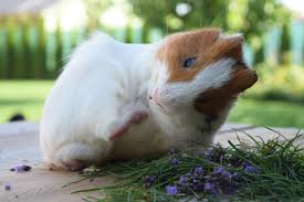 can guinea pigs get fleas how to
