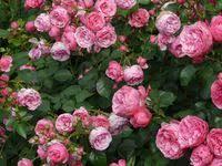 Цветы: лучшие изображения (26) | Backgrounds, Poppies и ...