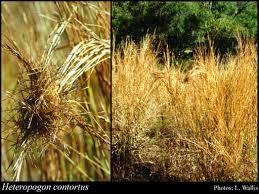 Heteropogon contortus (L.) Roem. & Schult.: FloraBase: Flora of ...