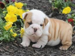 puppies english bulldog litter in andover connecticut outstanding