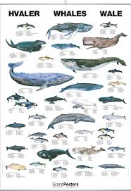 Whale Chart Species Whale Poster