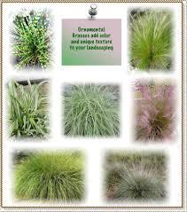 Tall Decorative Grass Ornamental Grasses