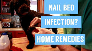 dog nail infection 7 holistic remes