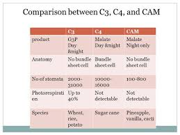 Image Result For C3 C4 And Cam Plants Comparison