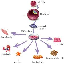 stem cell △kathy kiefer stem cell research is a relatively new technology that takes primitive human cells and develops them into most any of the 220 varieties of cells in the