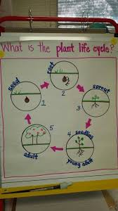 Plant Life Cycle Anchor Chart Www Bedowntowndaytona Com