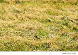 tall green grass field. Plants: A Field Of Tall Green And Golden Grass Filling The Entire Frame